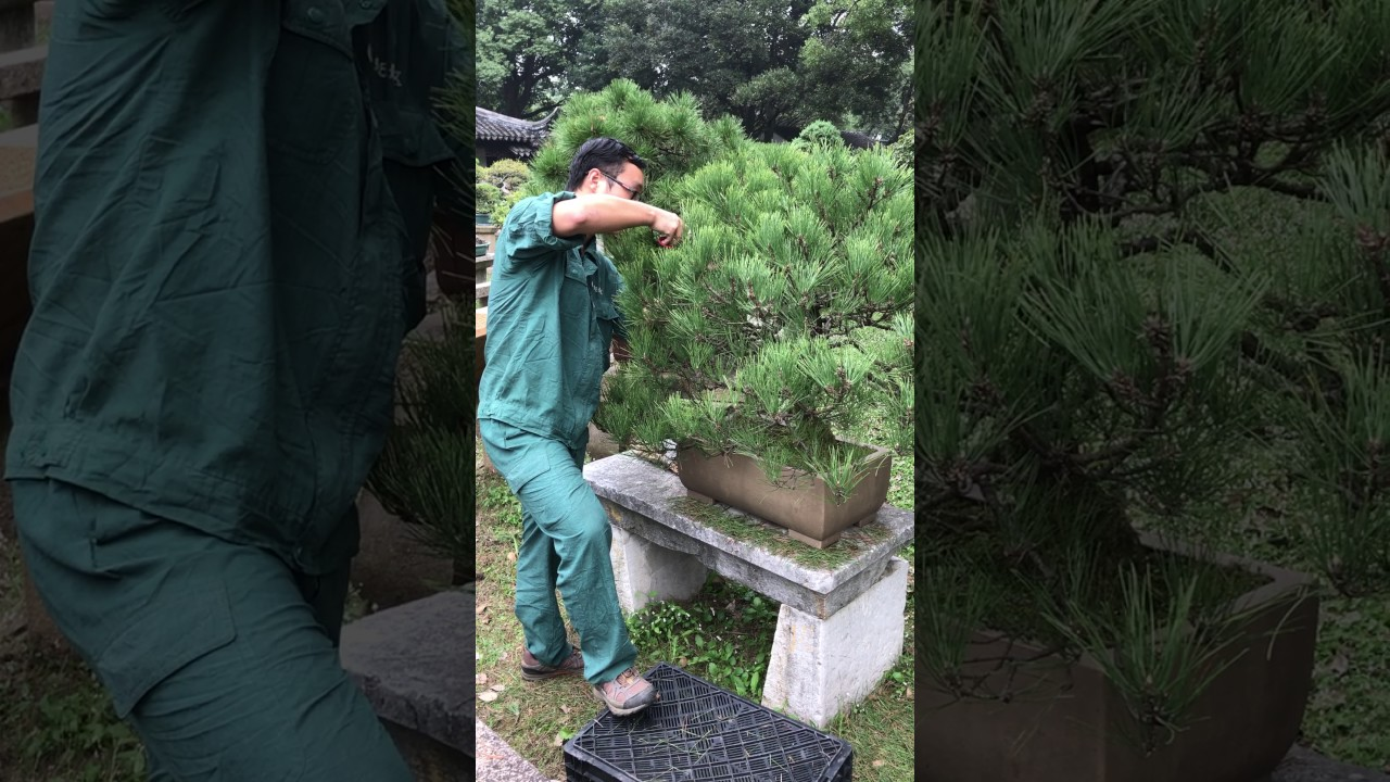 Bonsai Master at Tiger Hill in Suzhou